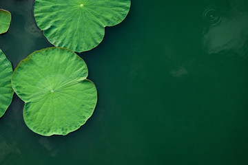 Garden Poster Lotus flower Peaceful and calm concept . Composition of Green lotus leaves in