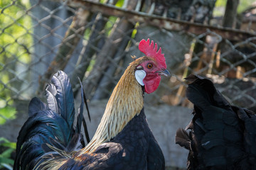 Golden Phoenix rooster on the traditional rural farmyard. Free range poultry farming
