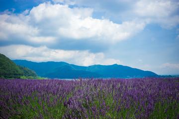 大石公園のラベンダー花畑