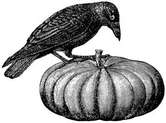 Vintage image raven on a pumpkin
