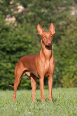 Portrait of nice Pharaoh Hound