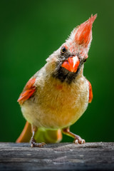 Female cardinal staring into the camera