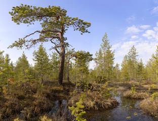 The pine among bog