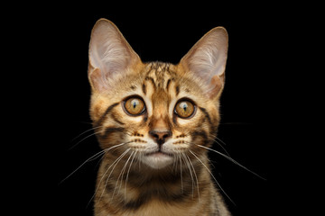 Closeup Portrait of Bengal male Kitty, Gaze Looking in Camera Isolated on Black Background, Front view, Beautiful eyes