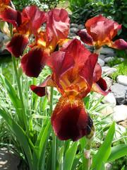 Шоколадные бородатые ирисы в саду, макро. Ирисы в цветнике крупным планом.