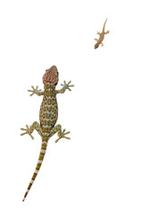 A gecko on white background