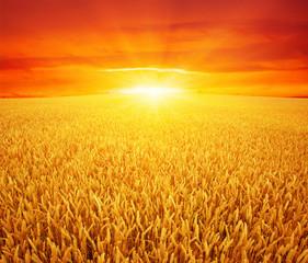 Wall Mural - wheat field and sun