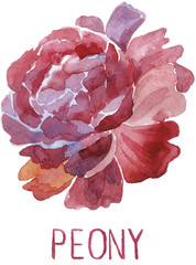 Gorgeous dark red peony flower. Watercolor illustration