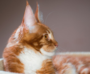 Portrait of domestic red Maine Coon kitten, 4,5 months old. Cat posing on green outdoor background. Close up.