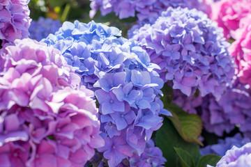 magnifique massif d'hortensia en fleur