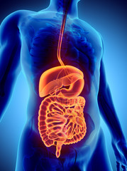 3D human male x-ray digestive system.