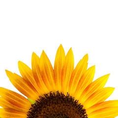 close up of single sunflower isolate on white background with clipping path