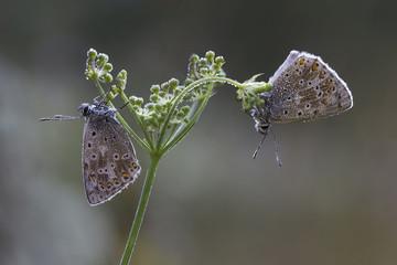 Pair of tiny butterflies on a Flower of Grass