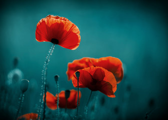 Foto op Canvas Klaprozen Amazing poppy field . Summer flowers .