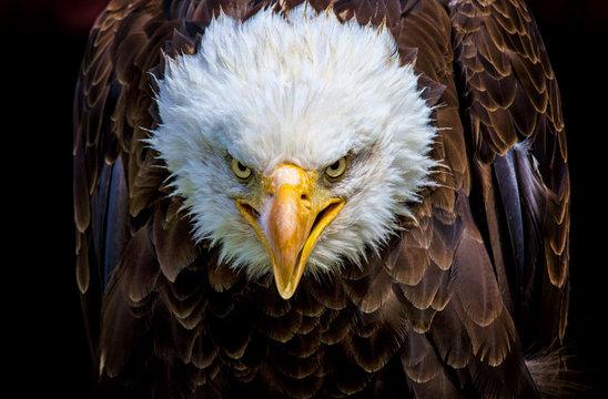 An angry north american bald eagle
