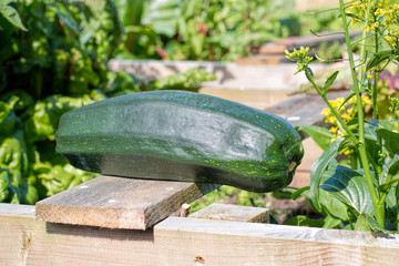 Home grown zucchini in vegetable garden. Marrow Courgette Plant