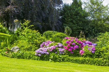 Bush of Hortensia flowers in the garden