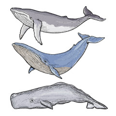 Whales collection humpback whale blue whale sperm whale