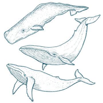 Whales set humpback whale blue whale sperm whale hand drawn