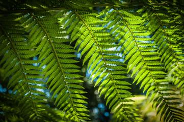 Dicksonia antarctica (soft tree fern, man fern)