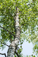 Trunk wood of white birch with branches and leaves
