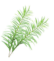 Rattan palm leaves isolated on white background