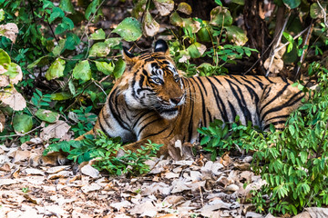 Royal Bengal Tiger (T-24 Ustaad)