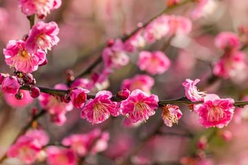 closeup of pink plum flowers in bloom