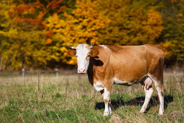 Single cow grazes in field. Blazing orange maple tree highlights green pasture.