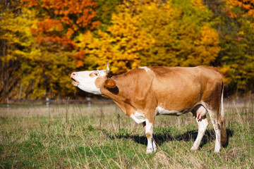 Single cow moos in field. Blazing orange maple tree highlights green pasture.