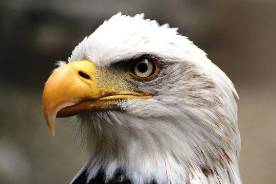 pygargue ou aigle à tête blanche