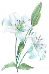 White lily watercolor illustration