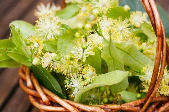 Linde - Tilia, Lindenblüte im Juni - Sammeln von Lindenblüten für Lindenblütentee mit einem kleinen Weidenkörbchen, alternative Medizin, Erkältungstee, Tee bei Erkältungskrankheiten