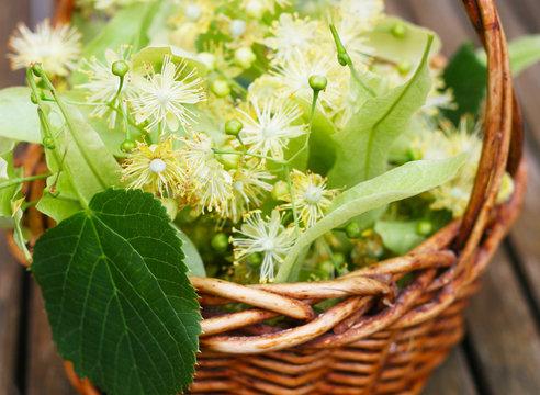 Linde - Tilia, Lindenblüte im Juni - Sammeln von frischen Lindenblüten für Lindenblütentee mit einem kleinen Weidenkörbchen, Tee bei Erkältungskrankheiten