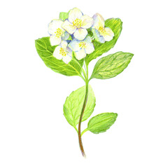 Jasmine flowers, drawn with crayons. Vector