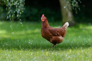 Freilaufendes Huhn in einem großen Garten