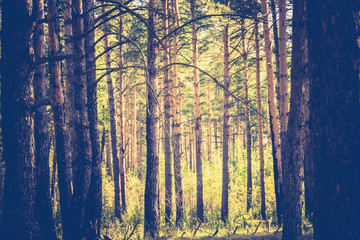 Pine Forest in the Morning Filtered