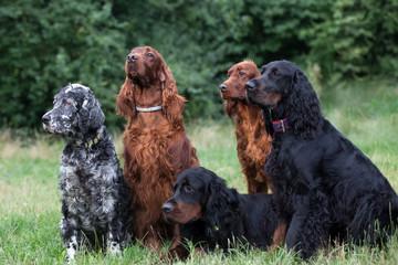 gordon setters, Irish setter, English setter,  family setters
