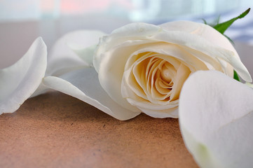 rose flowers close up on background