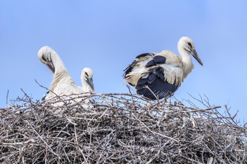 white storks on nest