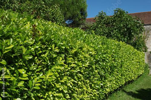 Haie de laurier palme stockfotos und lizenzfreie bilder auf bild 116193192 - Haie de laurier palme ...
