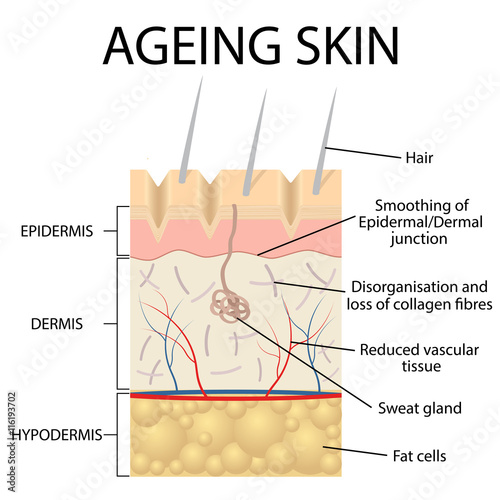Skin anatomy images