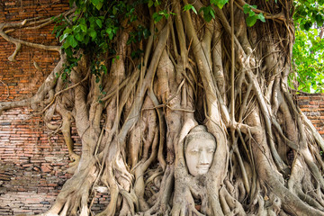 Buddha head statue inside the bodhi tree