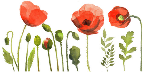 watercolor element of poppy flowers