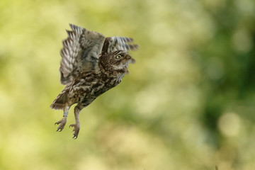 Little owl in last sunlight on a spring day