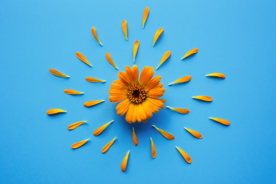 Isolated calendula flower with petals on blue background. Creative photo