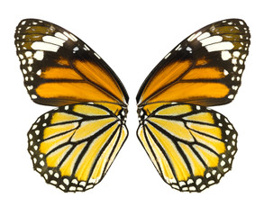 Butterfly wing isolated on white background, common tiger butterfly , Danaus Genutia, monarch butterfly, File contains a clipping path