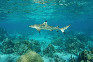A blacktip reef shark, Carcharhinus melanopterus, underwater in the lagoon, Pacific ocean, French Polynesia
