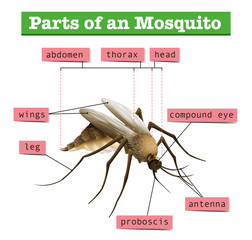 Different parts of mosquito