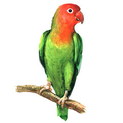 Red and green lovebird parrot on branch isolated, watercolor illustration